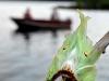 Luna Moth Who Observes Who by Angelia Perkins